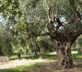 olivenbaeume